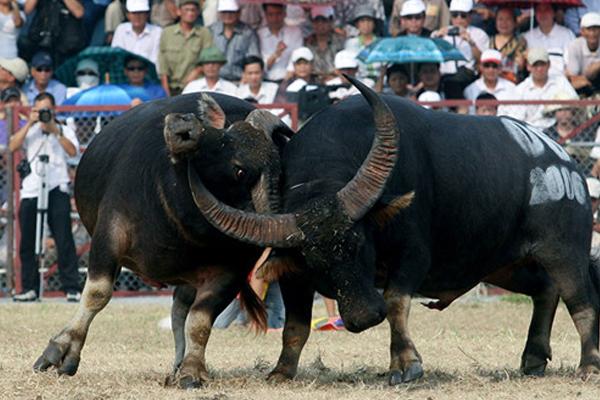 Lễ hội chọi trâu Phù Ninh
