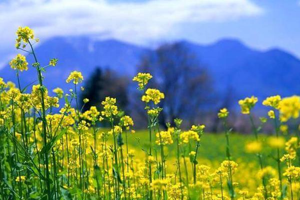 Mùa hoa cải trắng bạt ngàn trên cao nguyên Mộc Châu