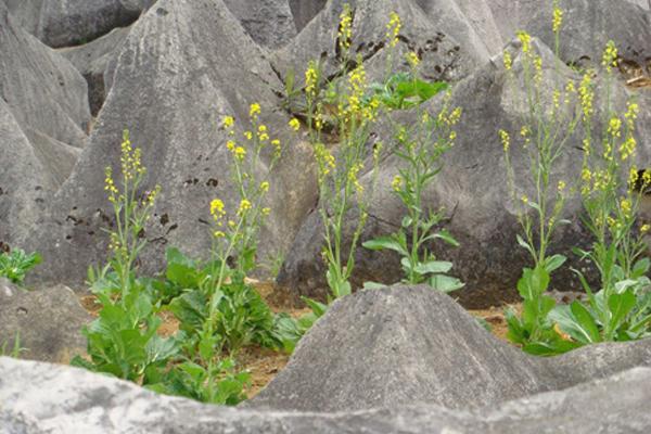 canh tác nương đá của đồng bào các dân tộc trên Cao nguyên đá Đồng Văn