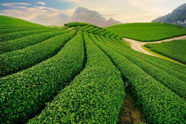 Mộc Châu cuốn hút với những đồi chè xanh mướt quyến rũ đến lạ kỳ